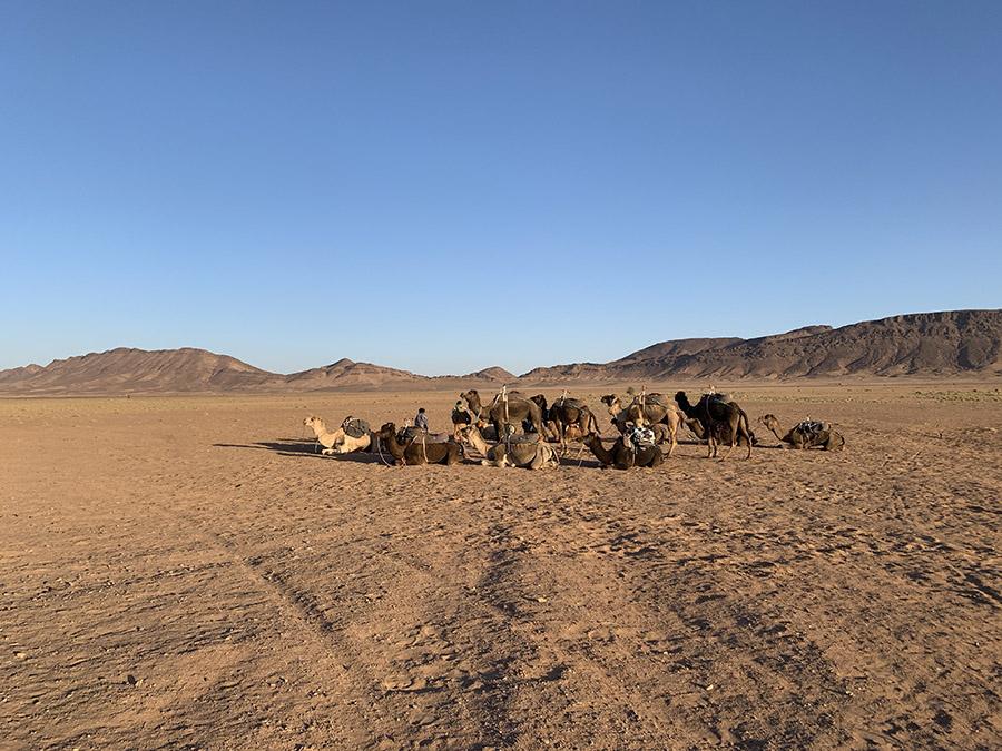 Marruecos - Desierto de Zagora - Camellos